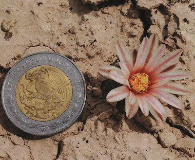 Flowering Lophophora alberto-vojtechii at the type locality