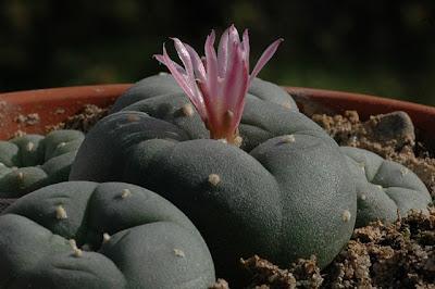 Flowering Lophophora decipiens