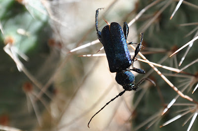 Metallic blue beetle maneuvering an Opuntia