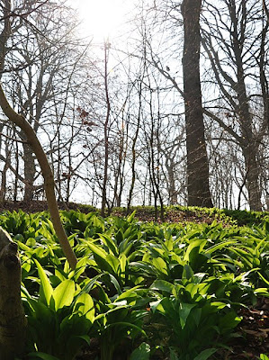 Ramsons basking in the spring sun