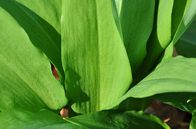 Ramson leaves, close-up