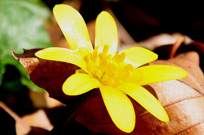Lesser celandine flower, close-up