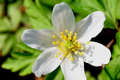 Wood anemone flower, close-up