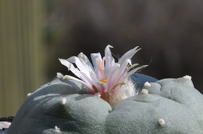 Lophophora williamsii (El Huizache) flower with long style