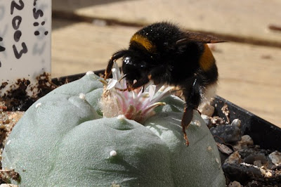 Bumble bee having fun with a Lophophora williamsii flower