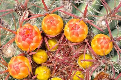 Budding Ferocactus stainesii