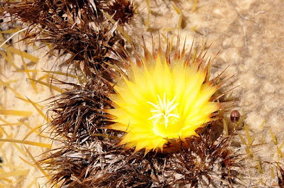 Echinocactus grusonii flower, close-up