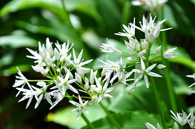 Ramsons flower, close-up