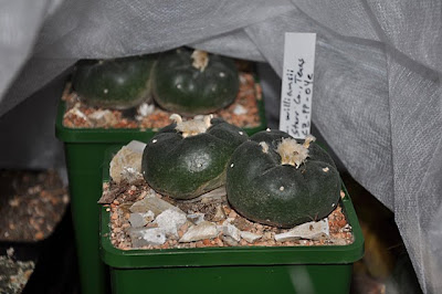 Lophophora williamsii draped in horticultural fleece