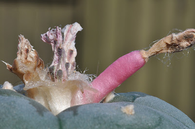 Trans-Pecos peyote fruit, close-up