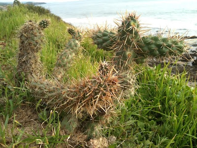 Cylindropuntia prolifera (coastal cholla) overlooking the Pacific Ocean