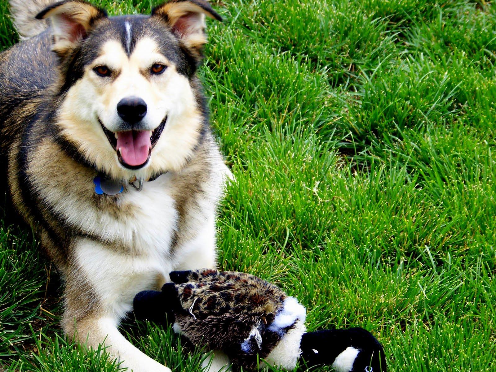 Go Back > Images For > Beagle Husky Mix