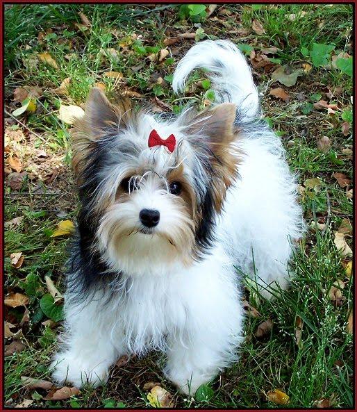 yorkshire terrier biewer breeder puppies for  - (800x358 - 72kB