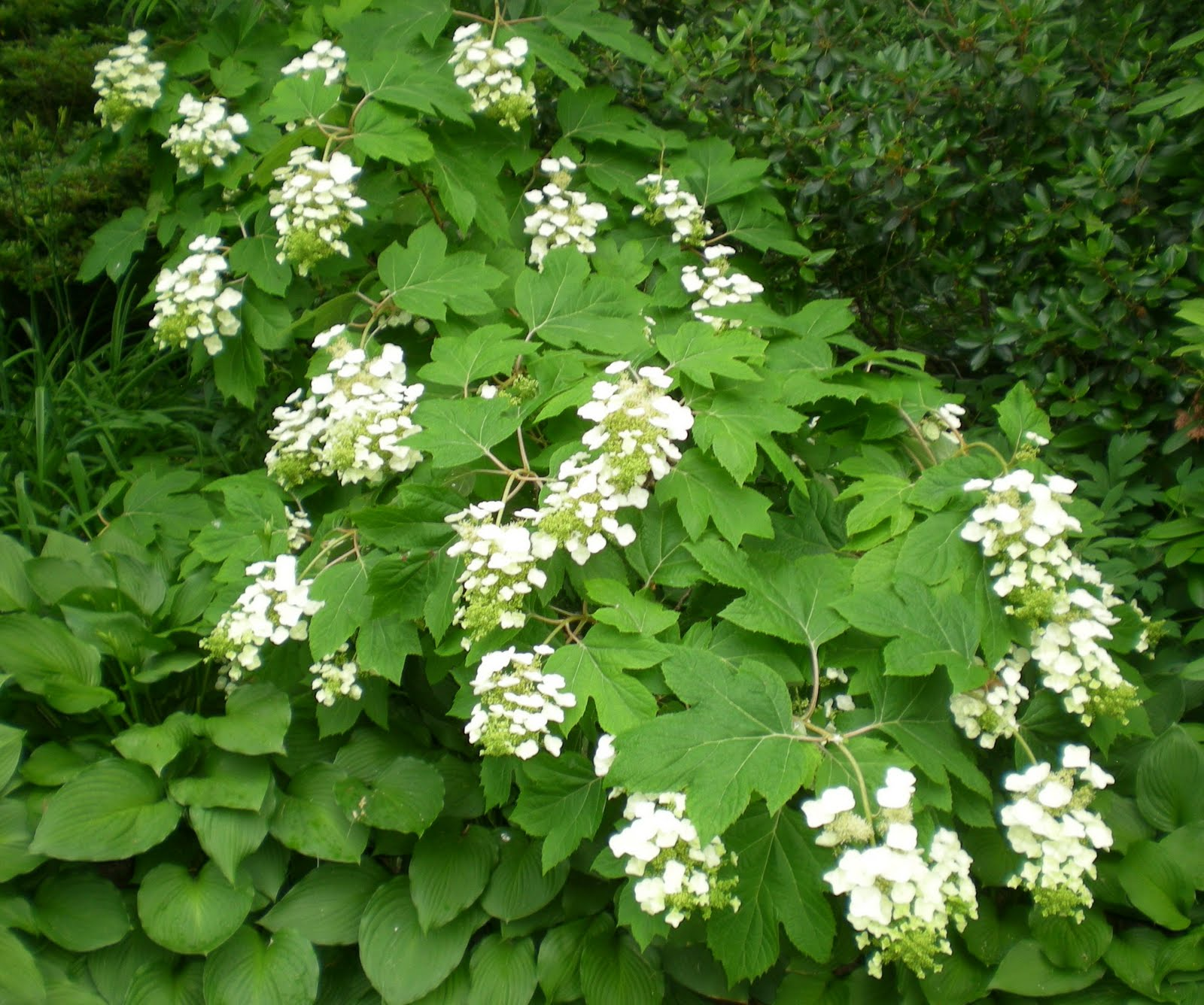 shrub oak single girls Oak leaf hydrangea great flowering shrub that also has beautiful fall these young plants grow together to form a single shrub experts in the garden since 1855.