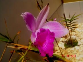 Orquídea-Bambú (Miramar/Ásia)