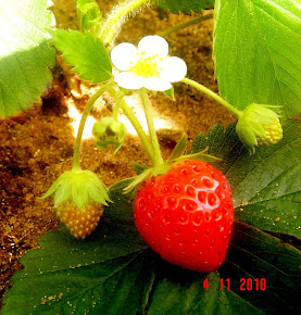 Flor e Frutas de Morango (Orig. Europa e Américas)