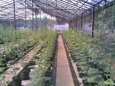 Melon Hidroponik Hortikultura