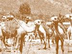 SOME CAMELS