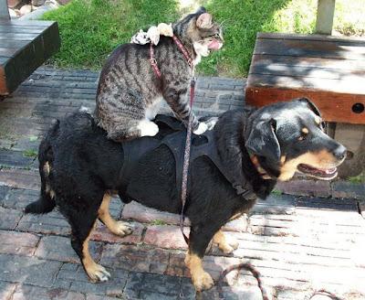 cães gatos cachorros montados