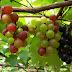Anggur Sifat dan Kegunaanya