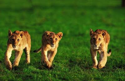 ������ ���� ���� Lion_014.jpg
