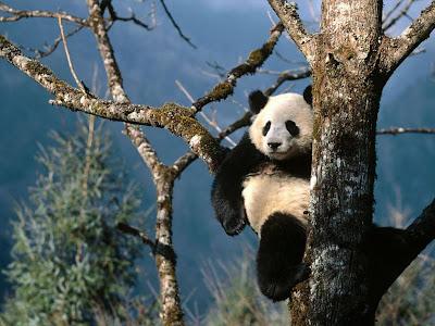 ���� ����� ������.....����� panda.jpg