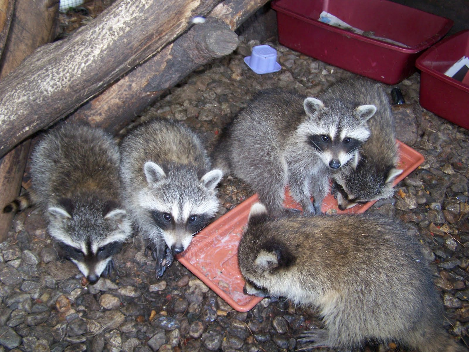 The Laughing Raccoon: Mangy coons! Raccoon With Mange