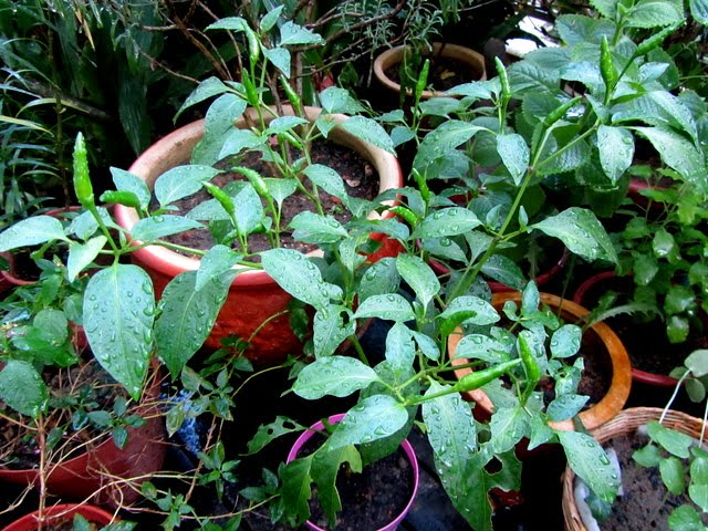 how to grow green chilli plant at home