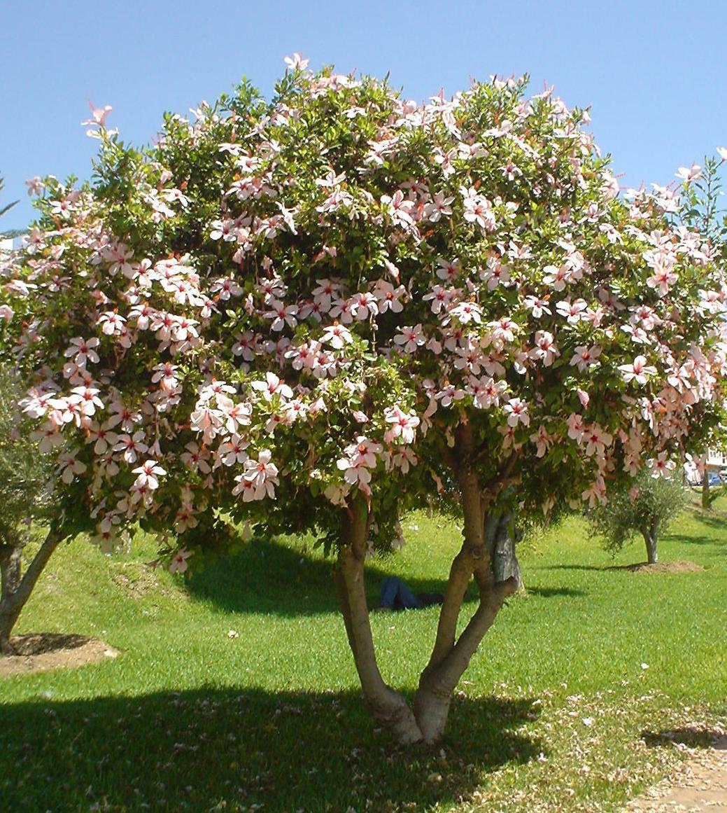 Inside The Icehouse: Astonishing Hibiscus Tree