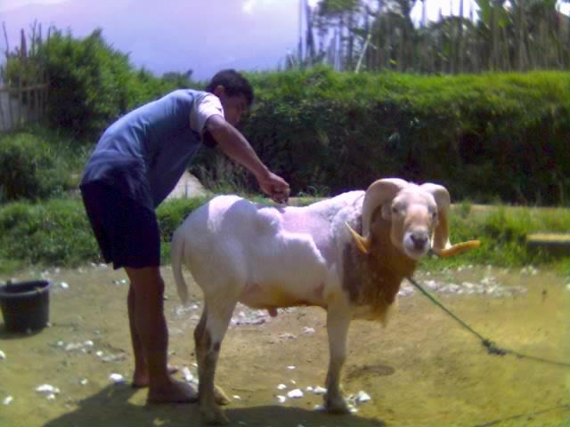 Kambing Sapi Domba Mencukur Bulu Domba