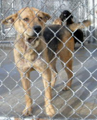1/17/10  SUMMERVILLE,GA~ Chattooga County AC -URGENT-Desperate GSD Mix!!!!!