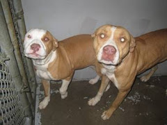 1/31/10 Beautiful Pits and Pit Mixes Will Be Euthed if No Rescue. Please Help.