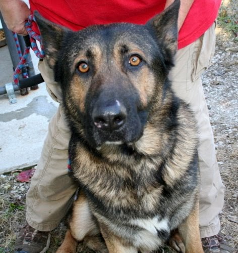It S Raining Cats Amp Dogs In West Virginia 10 27 09 German Shepherd Surrendered To Shelter Due