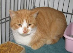 1/1/31 Newton County Animal Control Morocco Indiana/ Urgent Cats and Dogs, Pincher mix, British Pur