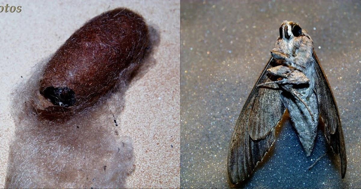 Jmptophotos cocon et papillon de nuit - Gros papillon de nuit dangereux ...