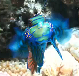 beautiful multi-colored mandarinfish