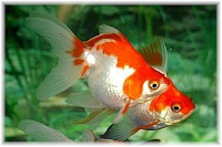 goldfish facts and knowledge