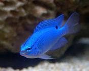 starter marine fish