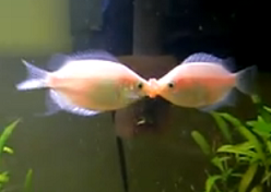 pink kissing gourami lock lips