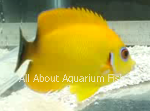 Yellow Dwarf Angelfish