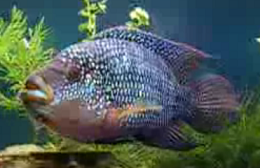 in addition Discus Fish Varieties List All About Betta Fish Types Of Discus Fishes in addition Fish  patibility Chart Freshwater in addition Jack Dempsey Cichlids Care Info additionally Rtysmn   wp Content uploads 2014 01 saltwater Aquarium Fish Pictures. on oscar fish care temperature