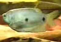 Three-Spot Gourami