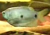 Three-Spot Gourami
