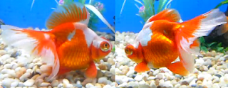 active and healthy goldfish pair