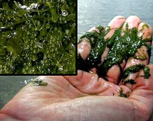 marine green algae