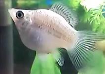 All about aquarium fish black sailfin balloon mollies for Balloon molly fish