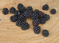 Freshly picked blackberries; photo by Val Phoenix