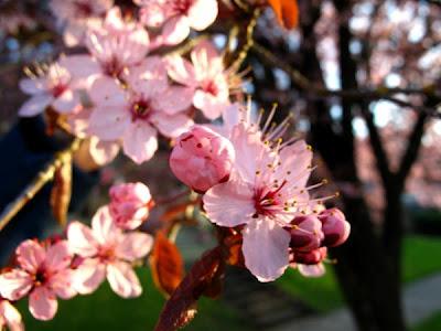 pink flowering tree photo by beth hemmila
