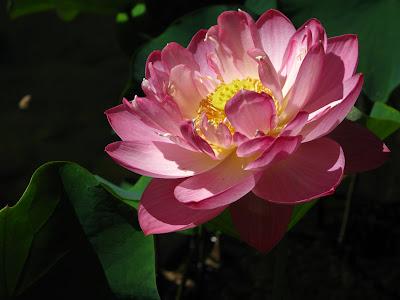 pink lotus blossom photo beth hemmila