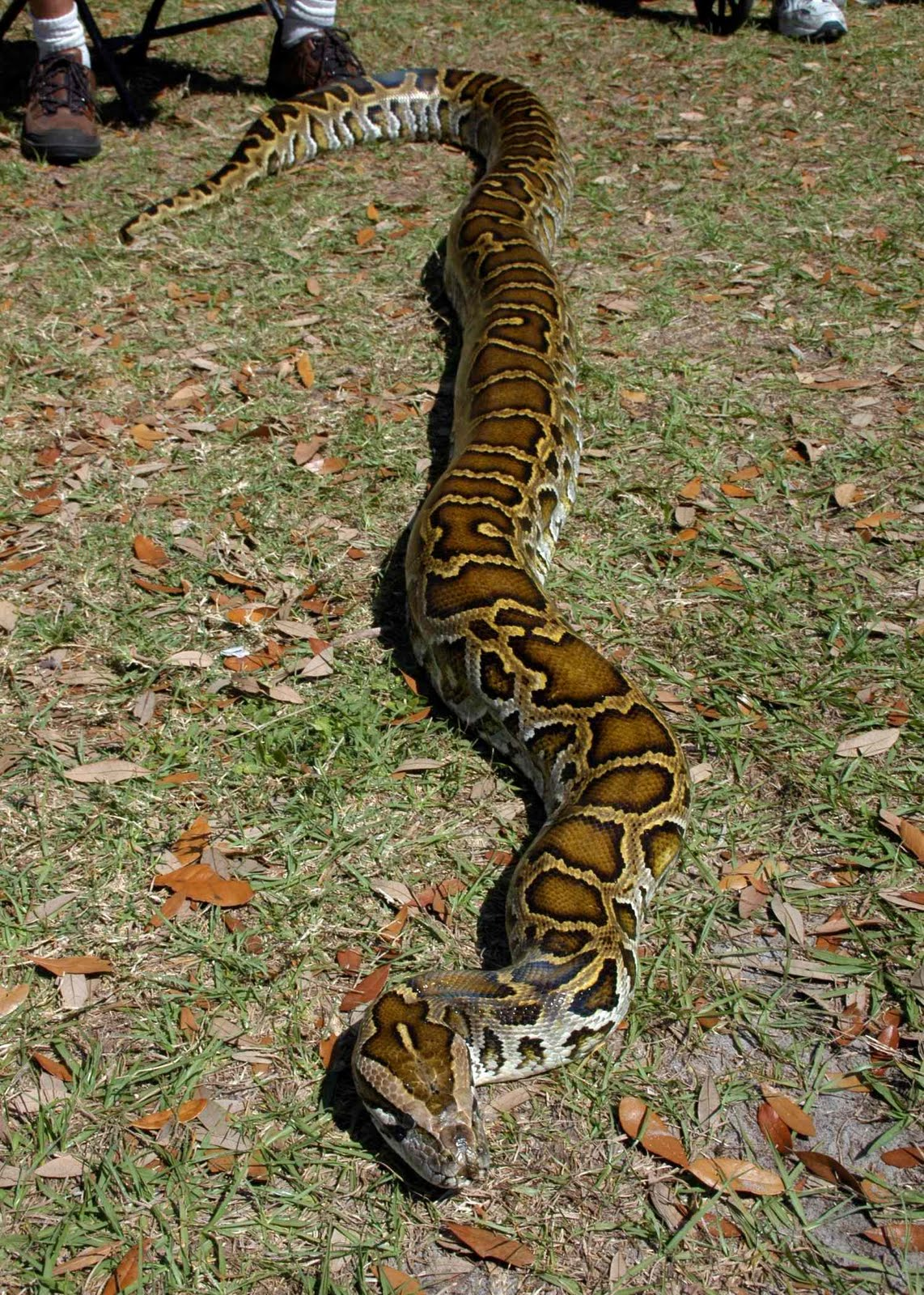 burmese python Until 2009 the burmese python was considered one of the two subspecies of the indian python, but it now enjoys its own classification the burmese python has one subspecies: the python.